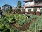 H271201農園収穫(白菜) (22)
