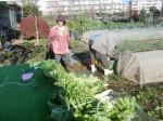 H271201農園収穫(白菜) (23)