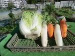 H271201農園収穫(白菜) (24)