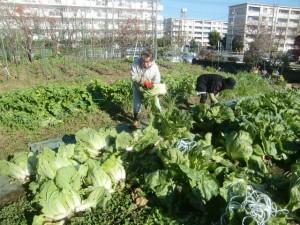 H271201農園収穫(白菜) (3)