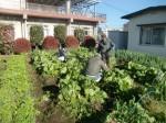 H271201農園収穫(白菜) (4)