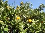H271201農園収穫(白菜) (6)