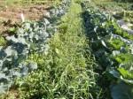 H271201農園収穫(白菜) (8)