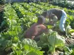 H271201農園収穫(白菜) (13)