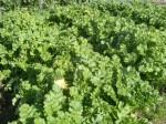 H271201農園収穫(白菜) (16)