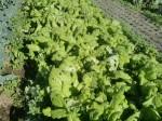 H271201農園収穫(白菜) (17)