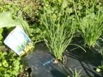 H271201農園収穫(白菜) (20)