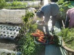 H271201農園収穫(白菜) (21)