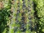 H271201農園収穫(白菜) (7)