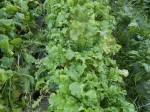 H271218野島農園収穫 (5)