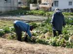 H270115農園収穫(二十日大根) (11)