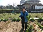 H270115農園収穫(二十日大根) (12)