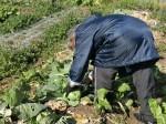 H270115農園収穫(二十日大根) (13)