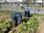 H270115農園収穫(二十日大根) (3)
