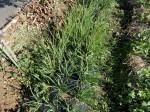 H270115農園収穫(二十日大根) (10)
