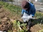H270115農園収穫(二十日大根) (4)