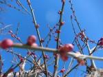 H280119梅の花 (4)