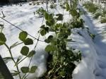 H280120野島農園に雪 (7)