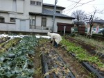 H280130農園ふきのとう (9)