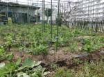 H2802061農園野菜 (12)