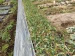H2802061農園野菜 (6)