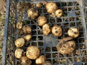H280213農園収穫 (3)