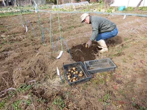 H280213農園収穫 (12)
