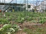 H280214農園収穫カブ (11)