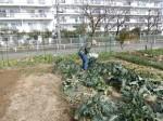 H280214農園収穫カブ (5)
