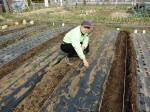 H280214農園収穫カブ (6)