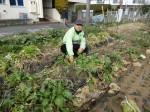 H280214農園収穫カブ (7)