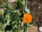 H280227農園トウモロコシ種まき (10)