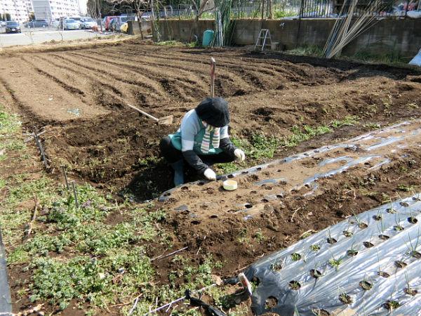 H280227農園トウモロコシ種まき (3)