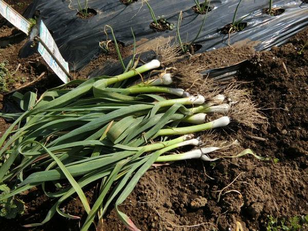 H280227農園トウモロコシ種まき (5)