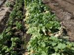 H280227農園トウモロコシ種まき (7)