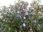 H280306農園菜の花 (18)