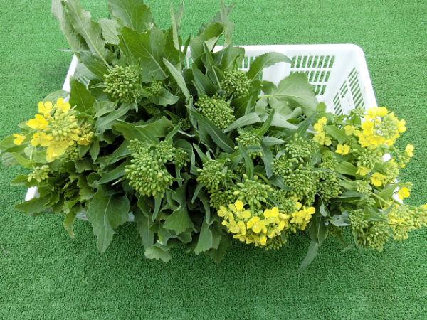 H280306農園菜の花 (9)