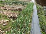 H280312農園(ジャガイモたね (9)