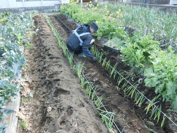 H280321農園ネギ (1)