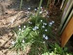 H280326農園菜の花 (15)
