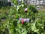 H280326農園菜の花 (19)