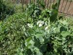 H280326農園菜の花 (18)