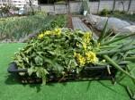 H280326農園菜の花 (5)