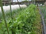 H280413農園ジャガイモ土かけ (5)