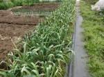 H280413農園ジャガイモ土かけ (6)