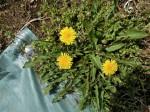 H280417農園茎レタス収穫 (16)
