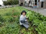 H280417農園茎レタス収穫 (2)
