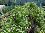 H280417農園茎レタス収穫 (3)
