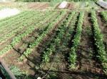 H280417農園茎レタス収穫 (11)