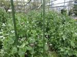 H280417農園茎レタス収穫 (15)